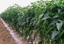 Pengolahan Tanah Untuk Budidaya Cabe